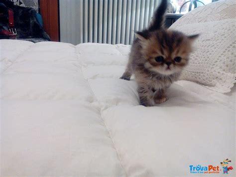 cuccioli gatti persiani in regalo foto gatti persiani cuccioli 28 images dolcissimi