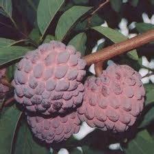 Jual Bibit Buah Buahan Langka jual bibit buah bibit buah agrobisnis trubus tanaman pohon jual beli bisnis