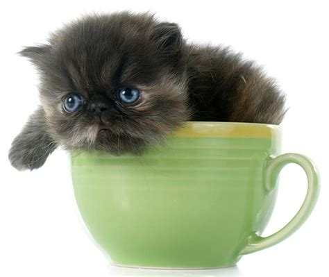 Teacup Cats and Miniature Cats   The Happy Cat Site