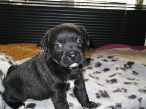 shih tzu mixed with pug labrador pug terrier mix llwyngwril gwynedd pets4homes
