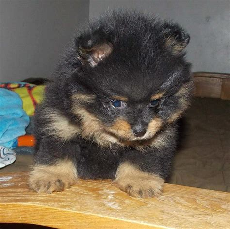 pomskies puppies pomsky puppies for sale