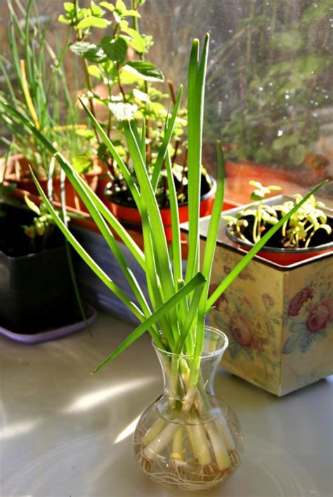 Gardners Grocery Giveaway - kitchen gardener grow green onions from cuttings