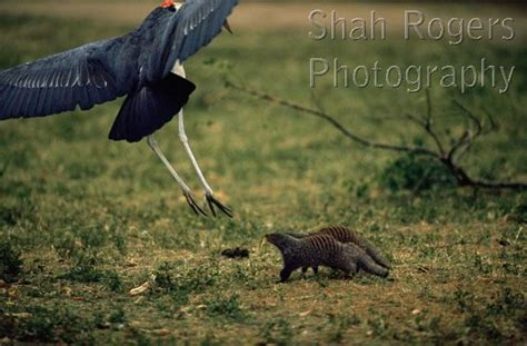 Stork On Tortoise Snake D1816bzgs marabou stork leptoptilos crumeniferus about to predate