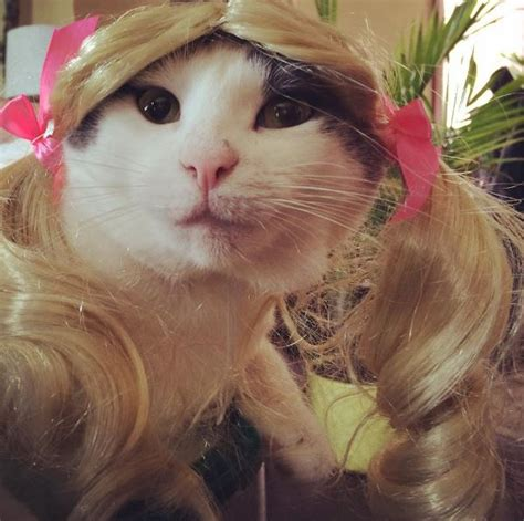 cat wig 30 cats in wigs that will make you laugh gallery cattime