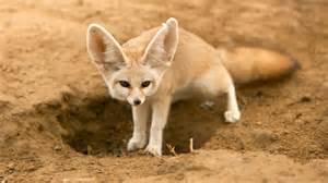 animal pictures fennec fox