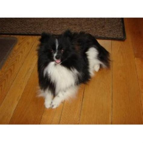 michigan pomeranian breeders pomeranian puppies for sale michigan pomeranian breeders michigan breeds picture