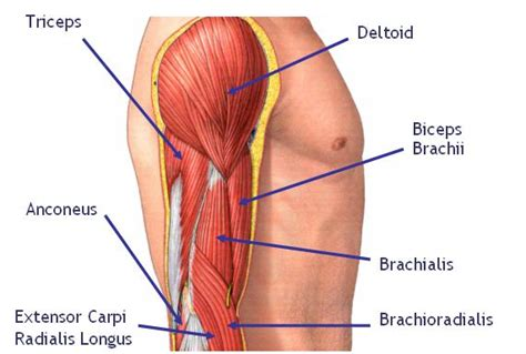 biceps diagram fall 7 times get up 8 just don t give up january
