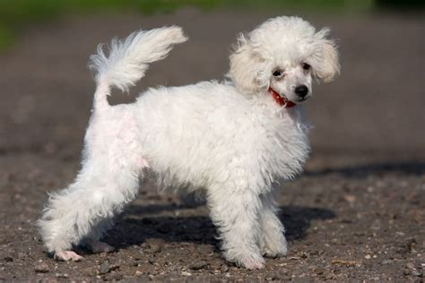 Hypoallergenic Non Shed Dogs by Most Popular Hypoallergenic Non Shedding Breeds