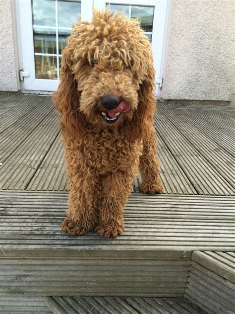 mini labradoodles uk f1 miniature labradoodle puppies wishaw lanarkshire
