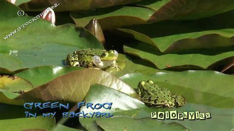 frogs in my backyard croaking frogs in my backyard youtube