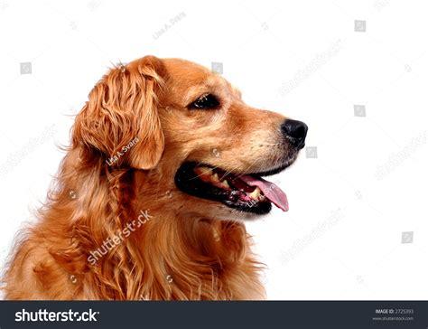 golden retriever profile golden retriever in profile stock photo 2725393