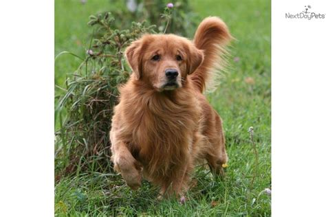 golden retriever adults for sale golden retriever adults for sale rc auta info