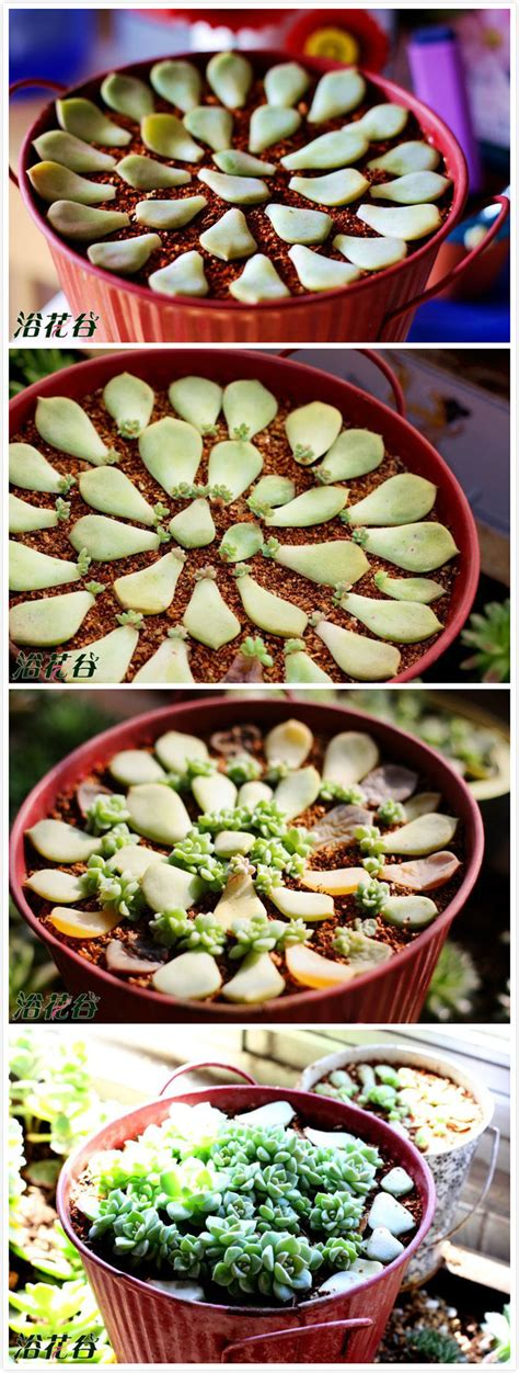 Propagating Succulents Can Be Done By Using The Offsets - como montar um vaso de suculentas fa 231 a voc 234 mesmo