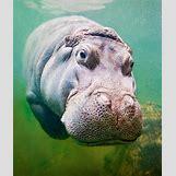 Hippopotamus Face In Water   538 x 640 png 739kB