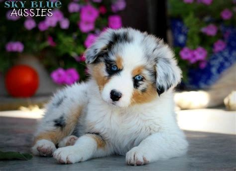 aussie puppies for sale in 1000 ideas about australian shepherd for sale on miniature australian