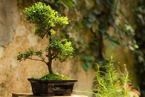 Bor Bonsai bonsai floralux