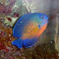 to add some great color to your tank? Then a Coral Beauty Angelfish