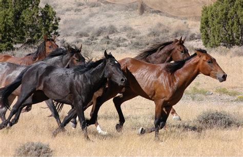 blm mustang roundup more horses will stay on the range kuer 90 1