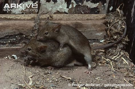mice in the house house mouse photo mus musculus a14352 arkive
