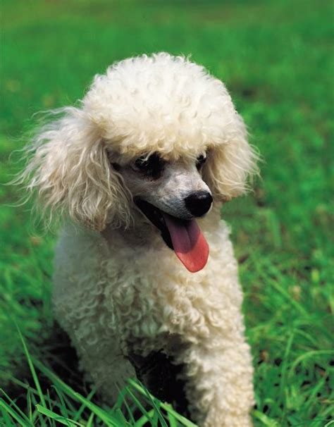 curly haired dog haircuts what breed of dog is white with a curly coat dog care