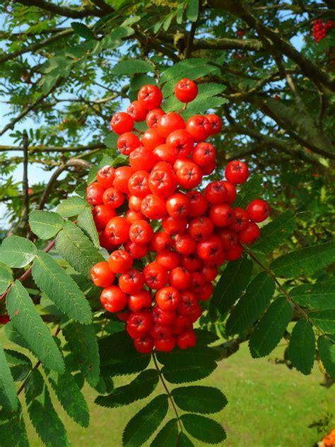 rowan tree fruit file rowan fruit sorbus aucuparia geograph org uk
