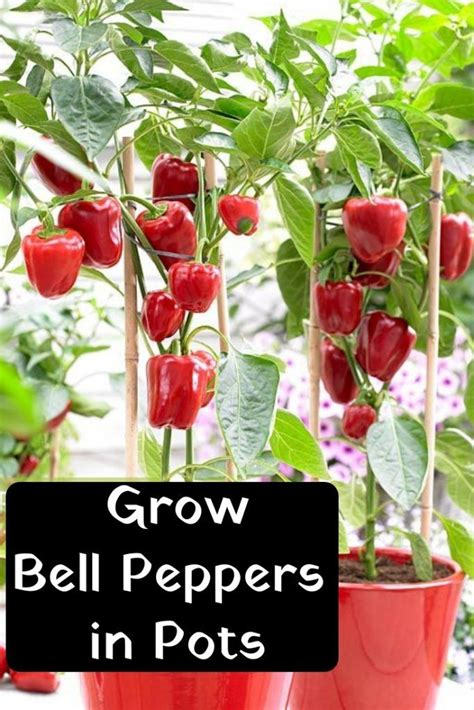 growing bell peppers  pots home crafting