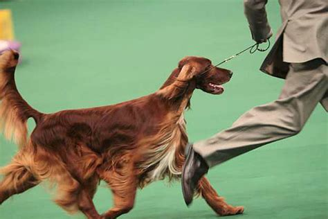 irish setter dog group westminster kennel club dog show day 2 in photos l a