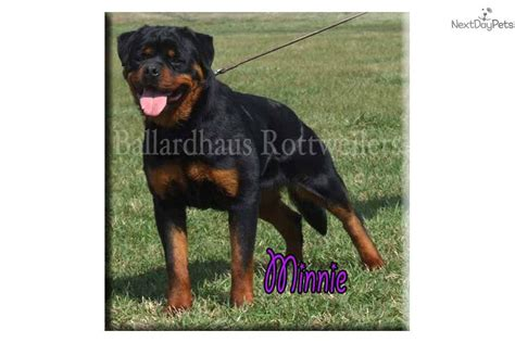 ballardhaus rottweilers rottweiler breed puppy pictures names breeders for breeds picture