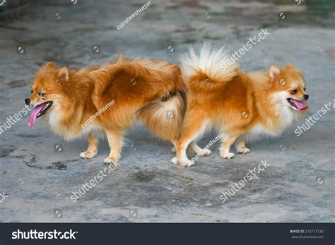 pomeranian mating and pomeranian mating mating of pet stock photo 213777130