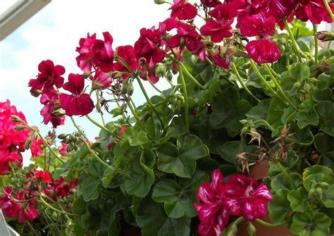 hänge geranien wann pflanzen pelargonium peltatum explosiv h 228 ngepelargonie