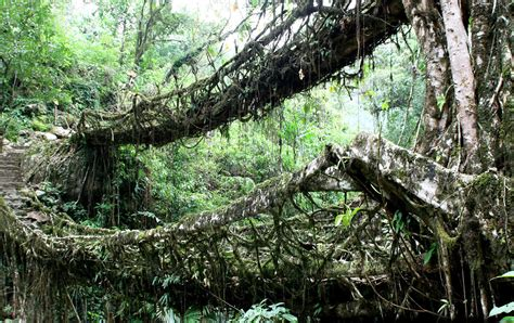 what is root bridge root bridges in northeastern india asia pinterest