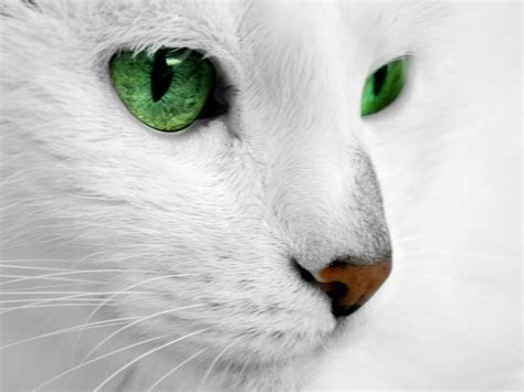 wallpaper cat green white cat with green eyes by reconreno on deviantart