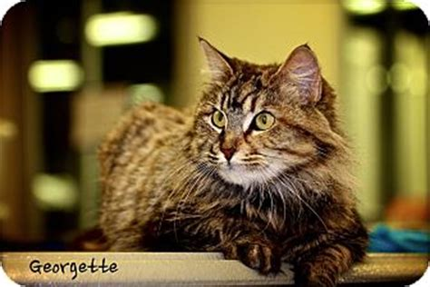 adoption albany ny georgette adopted cat albany ny maine coon