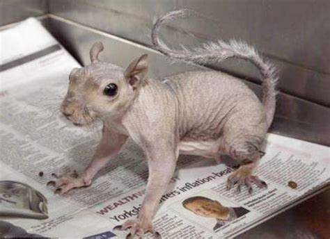 hair loss in squirrels funny pictures amazing picture world s first bald squirrel