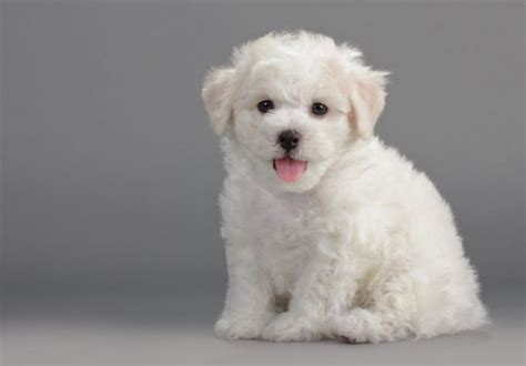 Breeds That Do Not Shed by Small Breed Dogs That Don T Shed Breeds Puppies