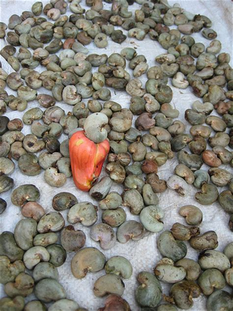 3 fruits with seeds on outside the seed cashew grows outside the fruit itself