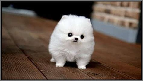 fluffy puppy breeds small fluffy breeds with pictures litle pups