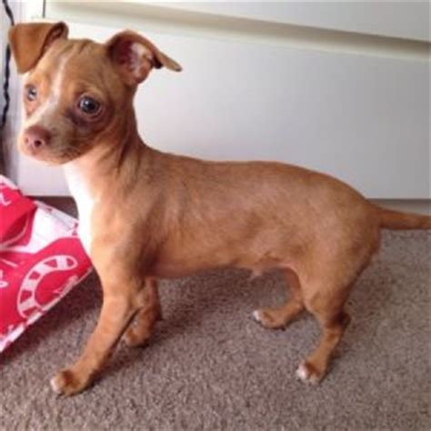 pitbull mixed with chihuahua puppies best 25 pitbull chihuahua mix ideas on adorable puppies chihuahua mix