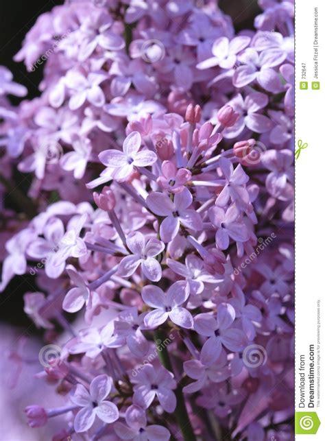 lilla fiore fiori lilla immagine stock immagine di pianta fioritura