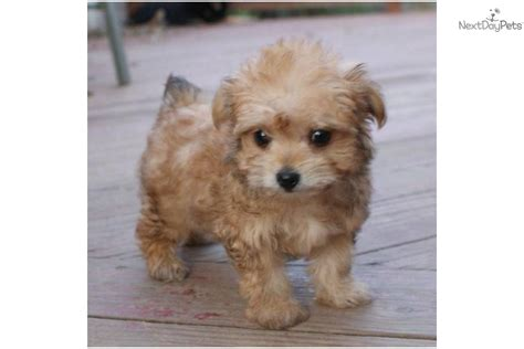 yorkie puppies ontario yorkie poo puppies for sale ontario breeds picture