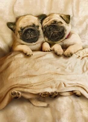 bed pugs cute pugs in bed asleep luvbat