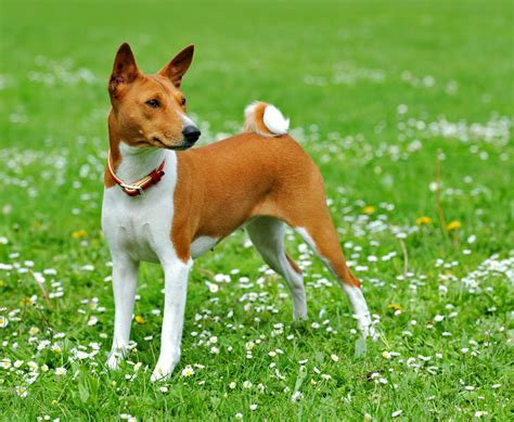 puppy on basenji breed on a walk wallpapers and images wallpapers pictures photos