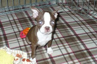 boston terrier puppies for sale az view ad boston terrier puppy for sale arizona tucson usa