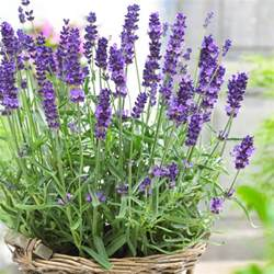 Formal French Garden - lavendula angustifolia hidcote english lavender hidcote blue pack of three plants