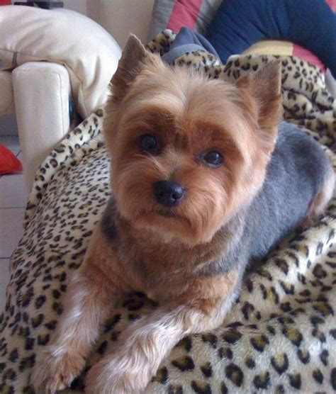 yorkies hair haircut yorkie hair cuts