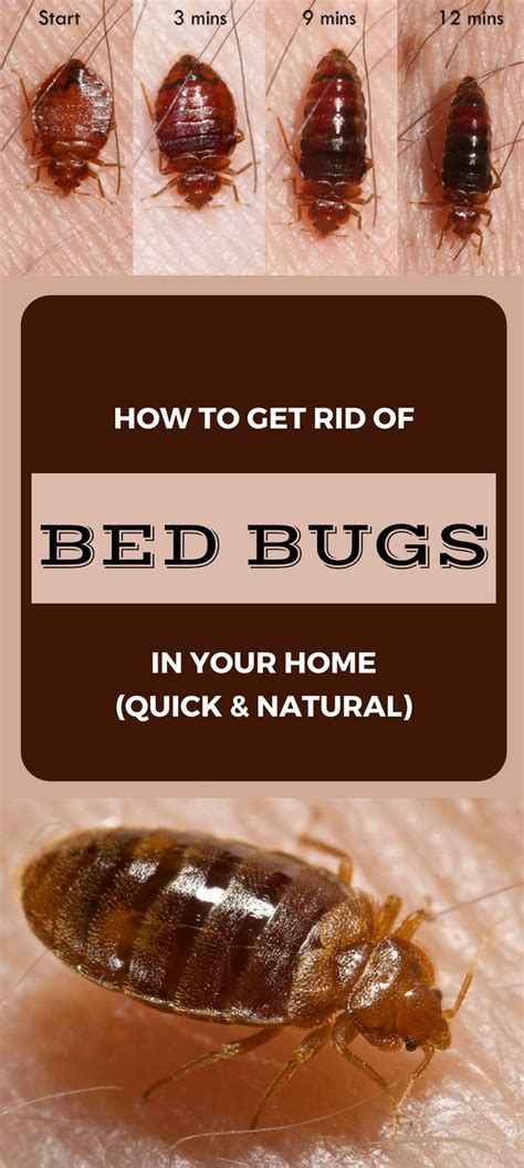 kill bed bugs naturally how to get rid of bed bugs in your home quick and natural