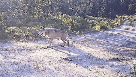 hd trailcam pictures of wolves in winter new wolf pack into washington state washington capital press