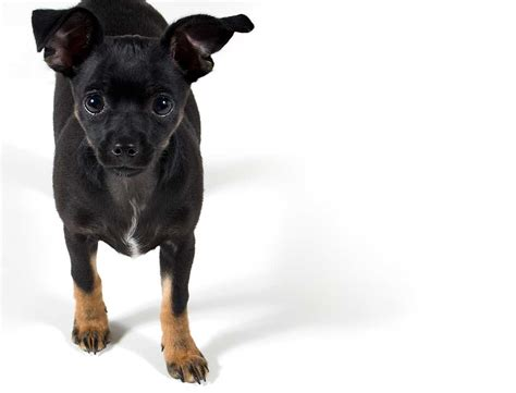 chipin puppies chipin breed 187 everything about min pin chihuahua mixes