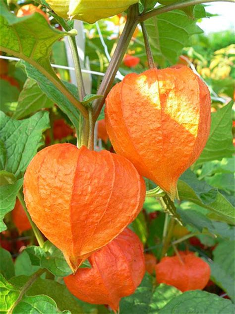 chinese lantern flowers pictures meanings