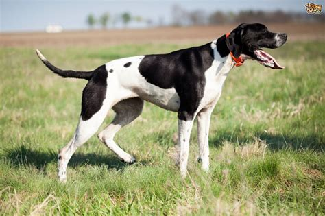pointers dogs pointer breed information buying advice photos and facts pets4homes